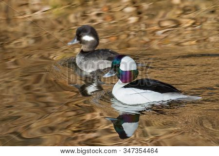 Common American Waterfowl. Male And Female Bufflehead Duck In Water.