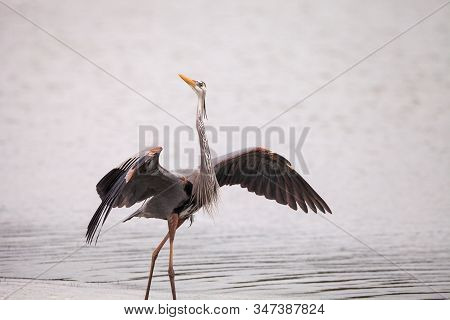 Spread Wings Of A Great Blue Heron Ardea Herodias