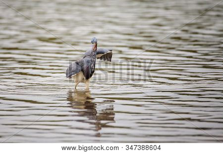 Tricolored Heron Egretta Tricolor Forages For Fish