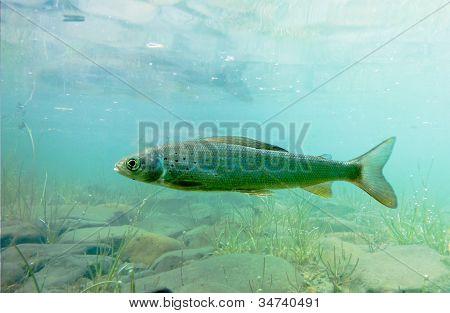 Arctic Grayling or Thymallus arcticus underwater