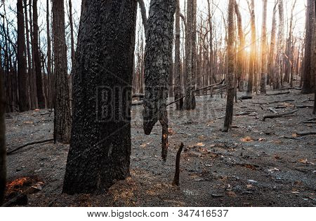 Suspended Burnt Tree In A Burnt Out Area Of Blue Mountains After Summer Bush Fires In Australia