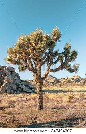 Joshua Tree, Yucca Brevifolia, In Mojave Desert, Joshua Tree National Park, Usa