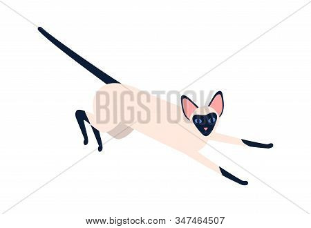 Domestic Exotic Siam Pet Vector Flat Illustration. Siamese Oriental Cat Breed Isolated On White Back