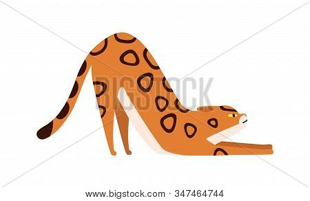 Cartoon Flexible Bengal Cat Breed Vector Flat Illustration. Stretching Spotted Domestic Animal Isola