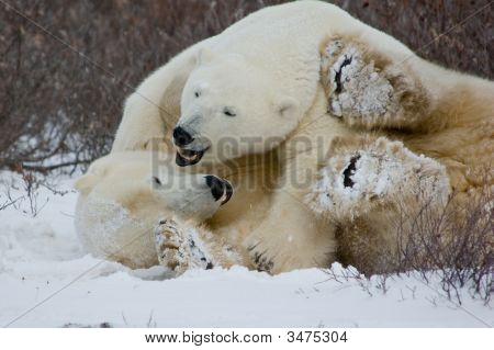Polar bears wrestling