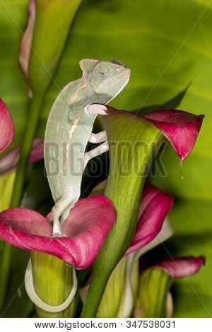 Green Chameleon On Purple Cali Lilly Flower