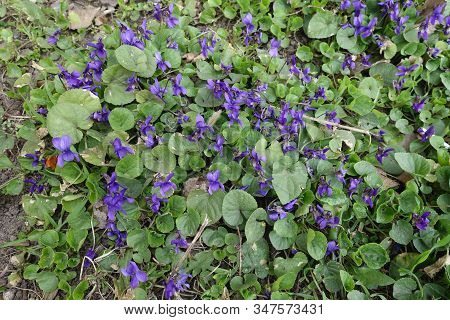 Florescence Of Dog Violets In Late March