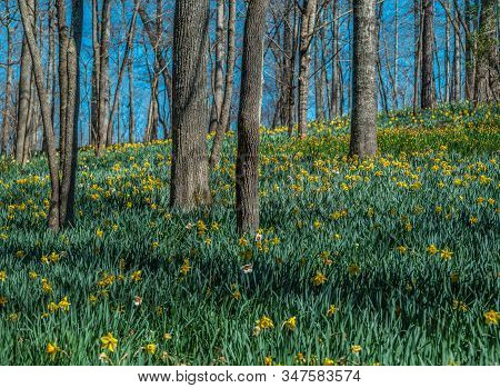 A Field Of Daffodils Of Different Varieties Blooming On The Hillside In The Forest On A Bright Sunny