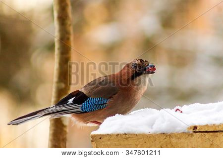 A Very Cautious And Shy Jay Bird Sits In The Snow And Eats Peanuts