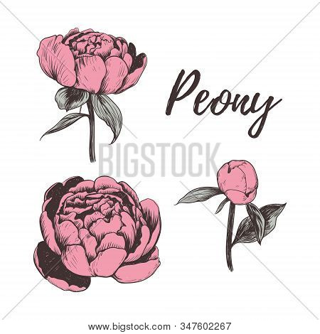 Collection Of Pink Peonies. Peony Vector Illustration. Set Peonies Hand Drawing. Peony Sketch