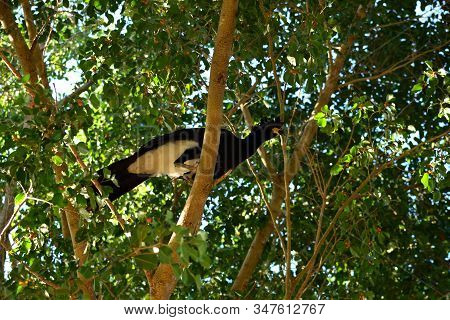 Bare Faced Curassow On A Big Tree