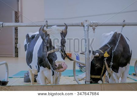 Two Black And White Milking Cows Eating Hay At Agricultural Animal Exhibition, Cattle Trade Show. Fa