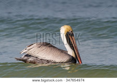 Brown Pelican With A Long Neck And Long Beak Riding On Green Ocean Waves On The Coast Of Florida.
