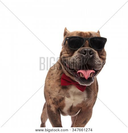 happy american bully wearing sunglasses and red bowtie, panting and sticking out tongue, standing isolated on white background