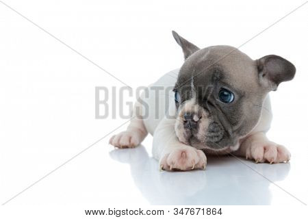 Bothered French bulldog puppy looking to the side while laying down on white studio background