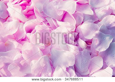 Beautiful Soft Sentimental Light Pink Dog-rose Petals Backround With Waterdrops For Design