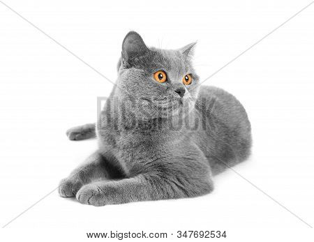 British Purebred Shorthair Cat On A White Background Smiles Like A Cheshire. A Gray Skittish Cat Is