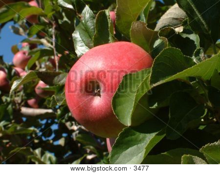 Apple Hanging From Tree In Orchard