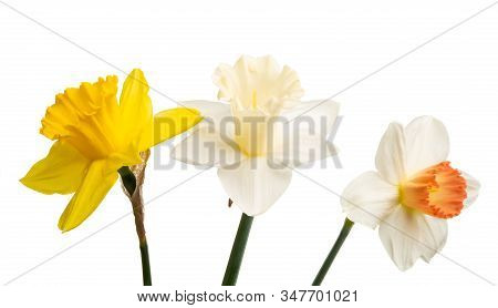 Daffodil Garden Flower Isolated On White Background