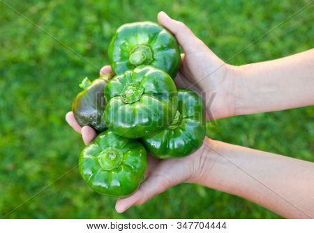 Hands Holding Green Bell Peppers (capsicum). Rich Harvest. Healthy Food.