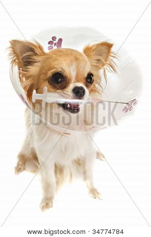 a chihuahua wearing a protective veterinary collar after a surgical operation and holding a sting poster