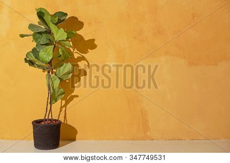 Plant Indoors In A Flower Pot Indoors On A Yellow Wall Background. Ficus Lyrate Plant Indoors On A Y