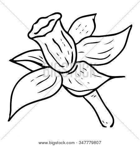 Daffodil Flower Icon. Vector Of Spring Daffodil. Hand Drawn Daffodil Spring Flower.
