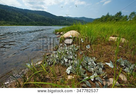 Russia. Kuznetsky Alatau, Shore Of The Tom River. Cabbage Butterflies In The Summer Breeding Season.