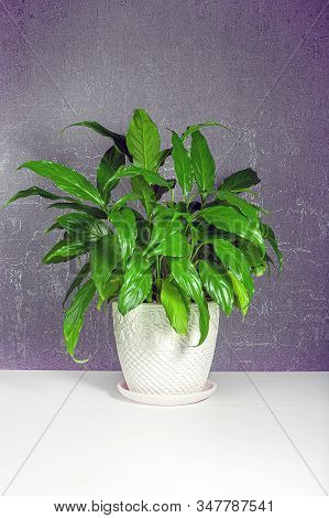 Lush Juicy Green Spathiphyllum In A White Ceramic Pot With Patterns On A White Table On A Gray Backg