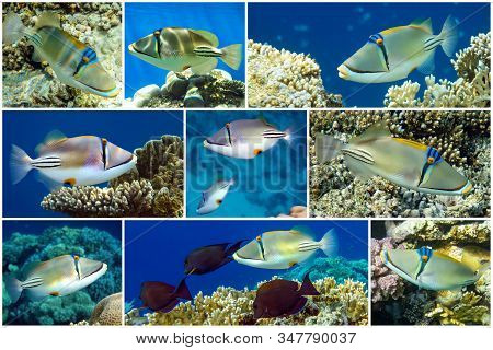 Picasso Triggerfish Or Arabian Picassofish (rhinecanthus Assasi) Collage Set