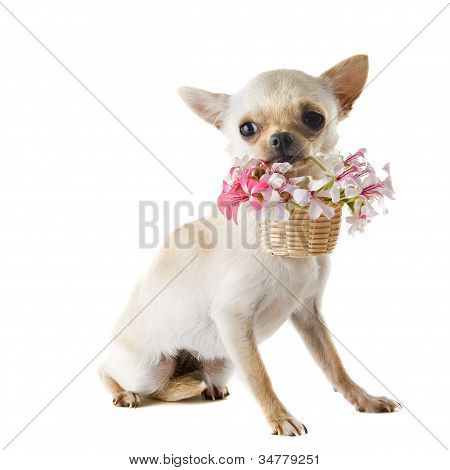 Puppy Chihuahua And Flowers