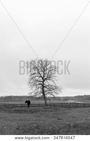 Horse By Tree In Fall In Black And White.