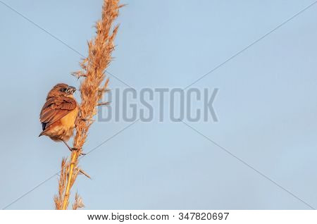 Scaly Breasted Munia In Dim Light On A Plant