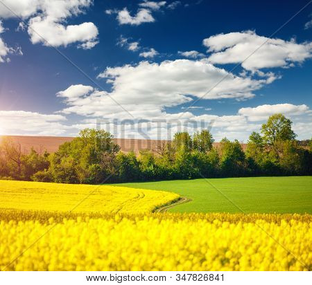 Yellow canola field and and fluffy white clouds on a sunny day. Picturesque rural area in springtime. Photo of ecology concept. Agrarian industry. Location place of Ukraine, Europe. Beauty of earth.