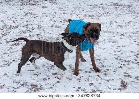 German Boxer Puppy And Amstaff Puppy Are Playing In The Winter Park. Pet Animals.
