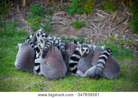 Group Of Ring-tailed Lemurs Seeking Warmth Together