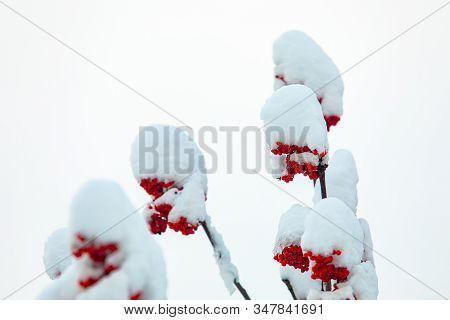A Low Angle Close Up Selective Focus Shot Of Canadian Holly, Ilex Verticillata, After A Heavy Snowst