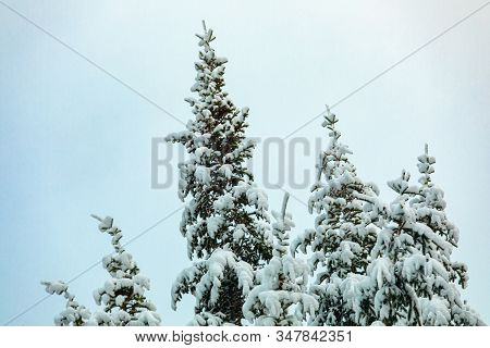 A Low Angle View Of Snow Covered Pine Treetops. Hardy Evergreen Nature Withstands Winter Storm. Copy