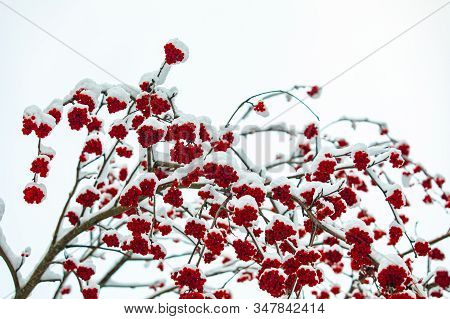 A Low Angle View Of A Fruiting Canada Winterberry Tree Mid Winter, With Snow Covered Branches And Re