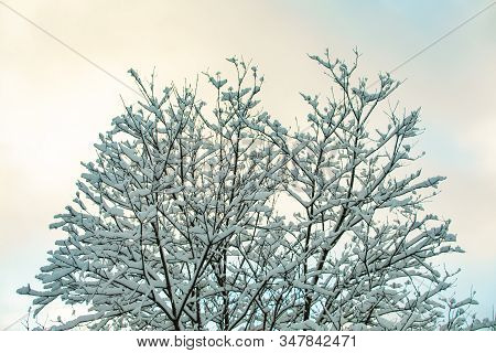 A Low Angle View Of A Leafless Tree After A Heavy Snowstorm With Snow Covered Branches, Pale Blue Sk