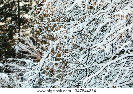 A Close Up Shot Of Trees And Shrubs In The Garden, Snowfall Lies On Bare Branches After A Winter Sno