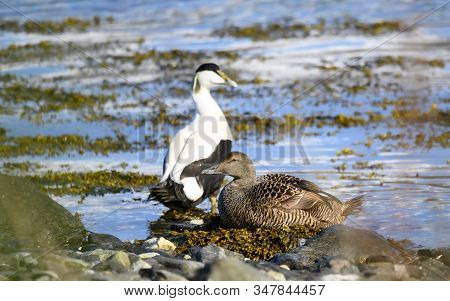 Common Eider Duck - Somateria Mollissima - Cuddy's Duck - St. Cuthbert's Duck. Edredon - The Biggest