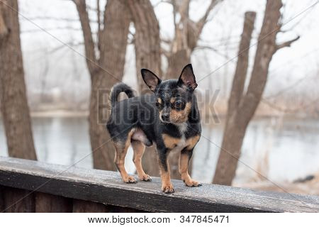 Dog Walks In The Park In Winter. Chihuahua On A Walk In Winter. Pet Dog Chihuahua Walks On The Stree