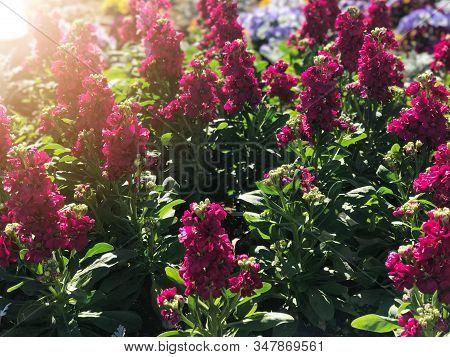 Dark Pink For Get Me Not Flower Field Under Sun Light