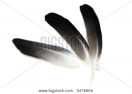 Fan from pigeon feathers are isolated on a white background. poster