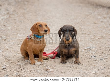 Portrait Of Two Old Sweet Dachshund Dogs Looking At His Owner In The Park. In Animal Lovers, Compani