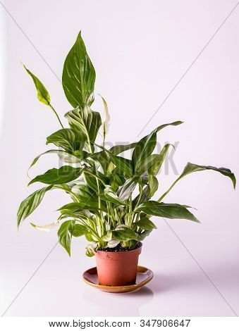 Houseplant Spathiphyllum Chopin In A Brown Clay Pot, Isolated.