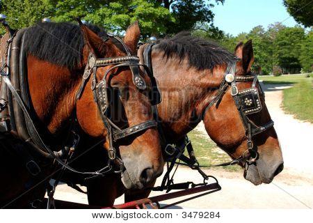 Percheron Horse Team