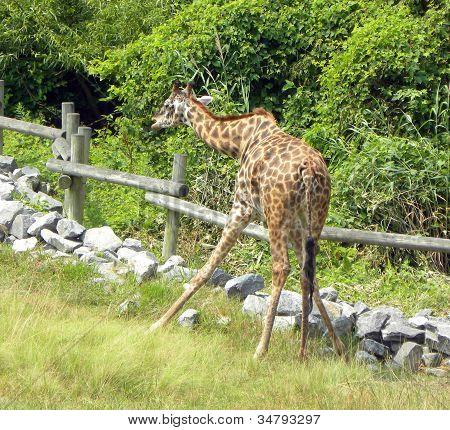 Bending Giraffe