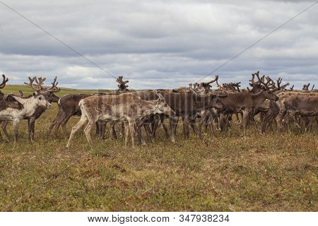 The Extreme North,  Yamal,   Reindeer In Tundra , Deer Harness With Reindeer, Pasture Of Nenets